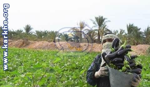 خرید حمایتی بادمجان برای نخستین بار در هرمزگان